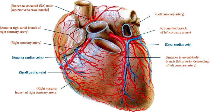 Herz › Anantomie des Herzens